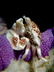 Porcelain Crab at tubbataha Reef, Philippines. Canon G10 by Andrew Macleod 